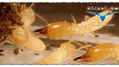 صورة شركة مكافحة النمل الابيض بالرياض